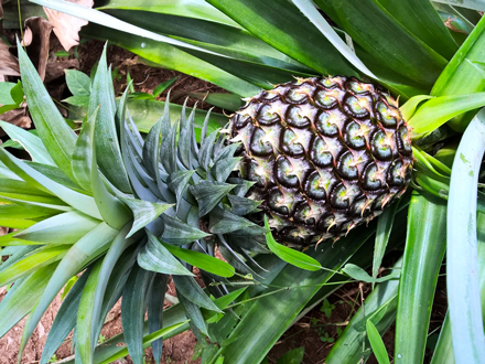 Food Travel Zanzibar exotic fruit pineapple