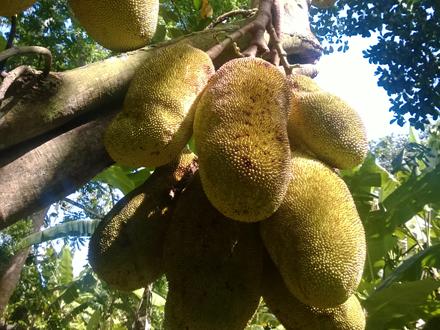 Food Travel Zanzibar Jackfruit hanging on tree