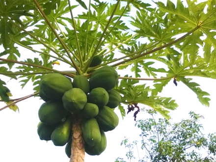 Food travel Zanzibar Papaya