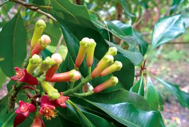 Fresh cloves that is used on a taste Zanzibar spice Blending